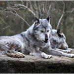 人狼ジャッジメント人狼